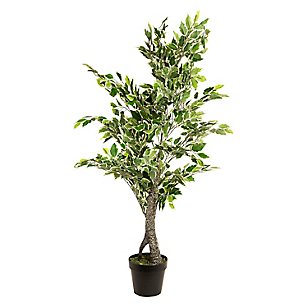 Dw-Mini Ficus 120Cms