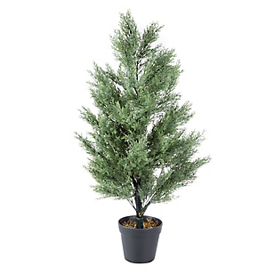 Ficus Ciprés