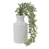 Plantín haba