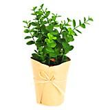 Pot eucaliptus 20 cm