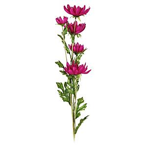 Flor Daisy Morada