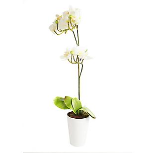 Planta Orquidea Maceta 60cm