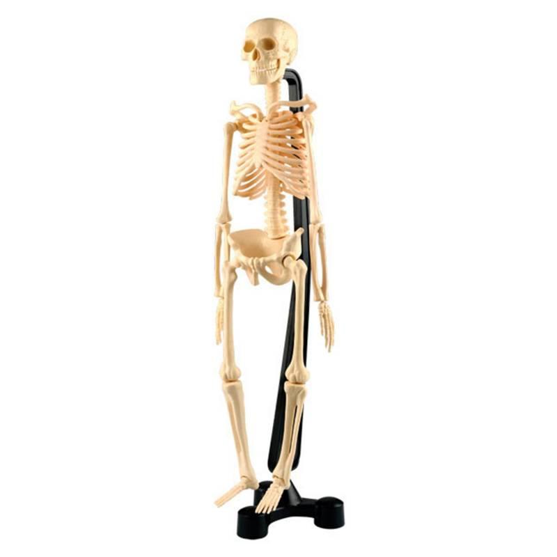 SEIGARD - Esqueleto Con Soporte