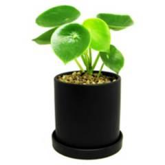 DECOPLANTAS - Planta peperomia 0.30 0.16