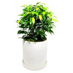 DECOPLANTAS - Planta ficus bons 30 cm 16 cm