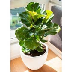 PLANT ME - Planta Ficus Lyrata En Autorreg B