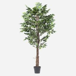 Mica - Ficus con Maceta 170 cm